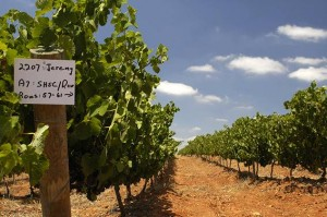 Kasteelsig vineyard